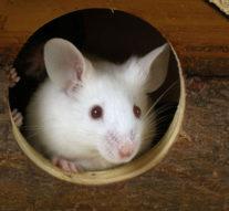 Новый метод контроля: исследователи использовали лазер для управления поведением мышей  + видео