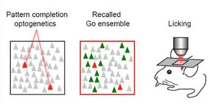 Лазер меняет поведение млекопитающих, активируя всего пару нейронов